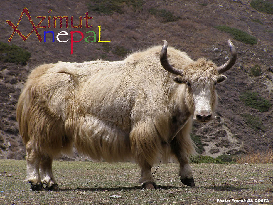 Click to enlarge image Yak_.jpg