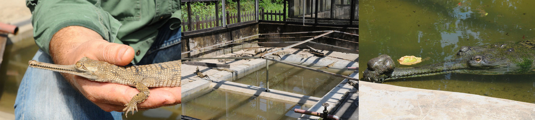 Click to enlarge image Gavial breeding centre_.jpg